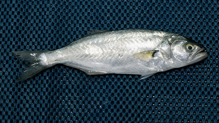 Balık Günleri Merakı Taşıyanlara Evladiyelik Tüyolar